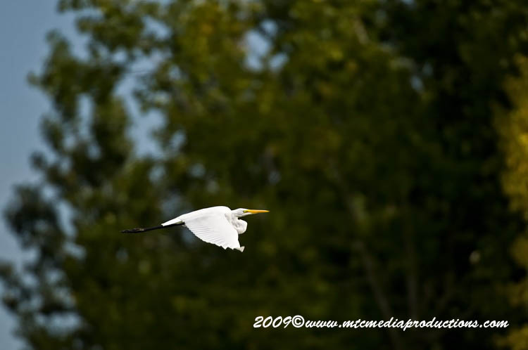 Great Egret Picture-114