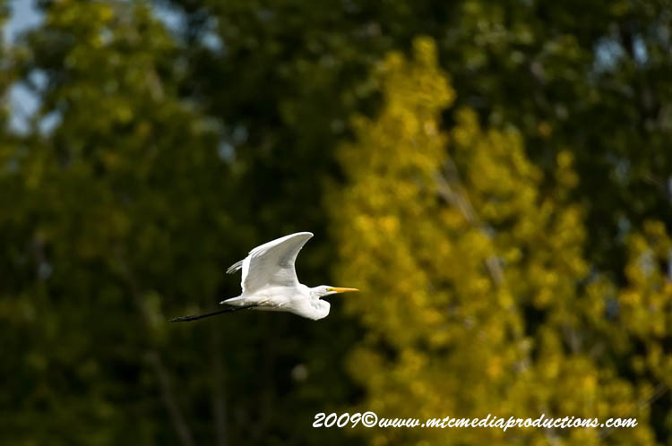 Great Egret Picture-115
