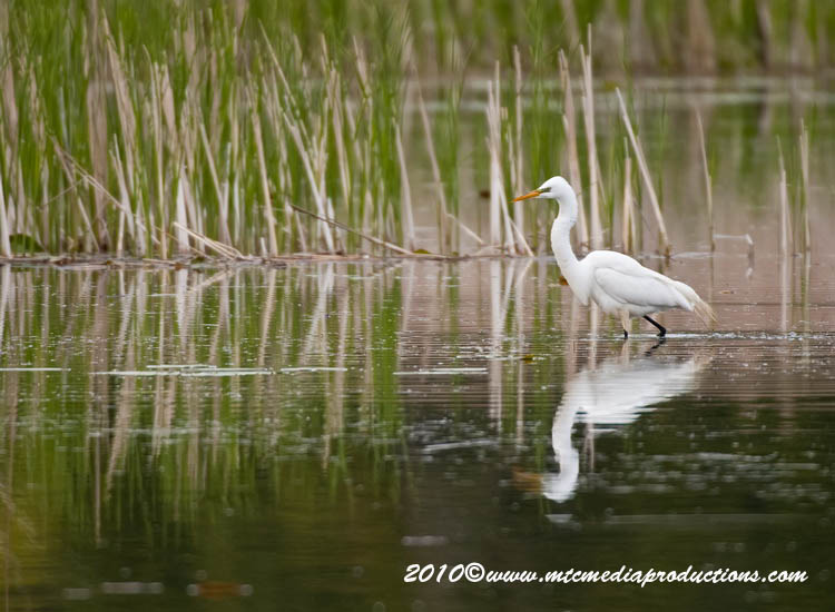 Great Egret Picture-116