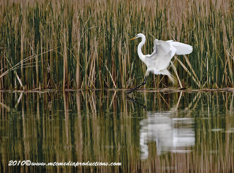 Great Egret Picture-117