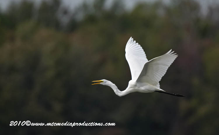 Great Egret Picture-118