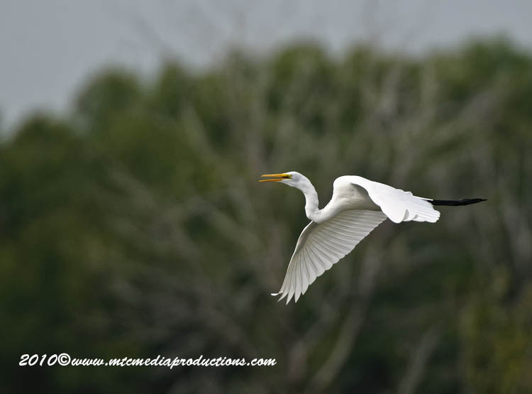 Great Egret Picture-119