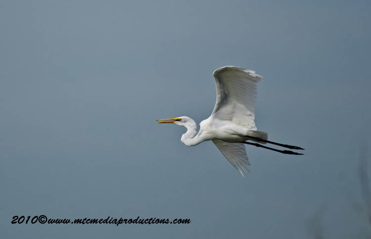 Great Egret Picture-120