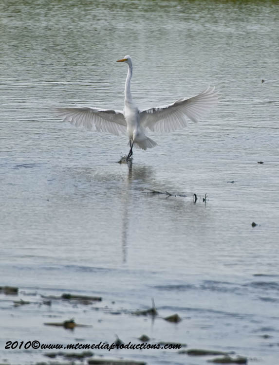 Great Egret Picture-121