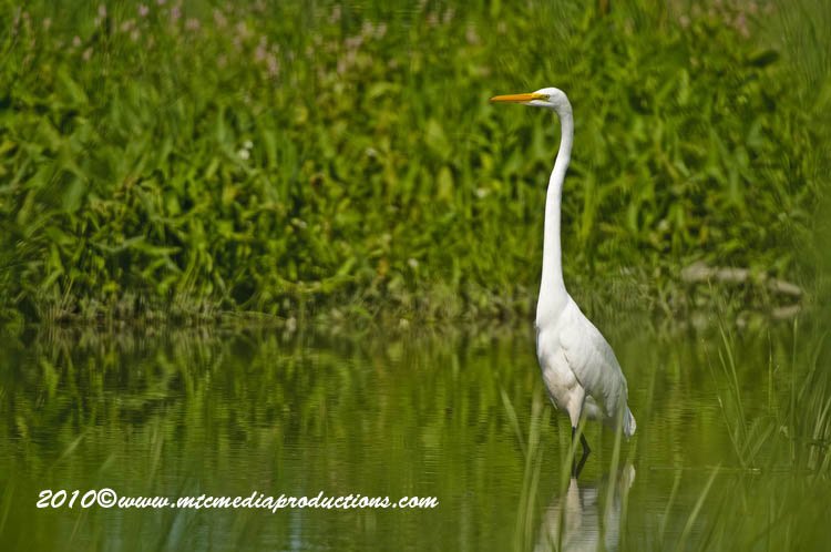 Great Egret Picture-122