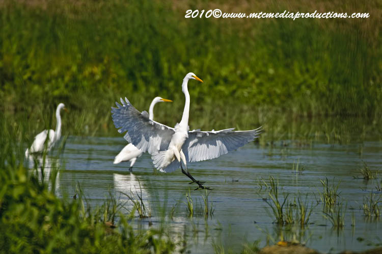 Great Egret Picture-123