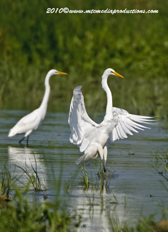 Great Egret Picture-124