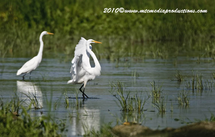 Great Egret Picture-125