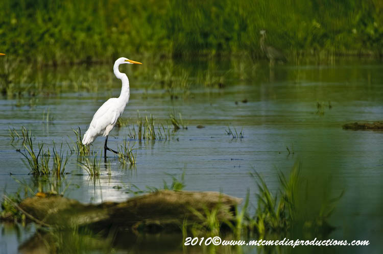 Great Egret Picture-126