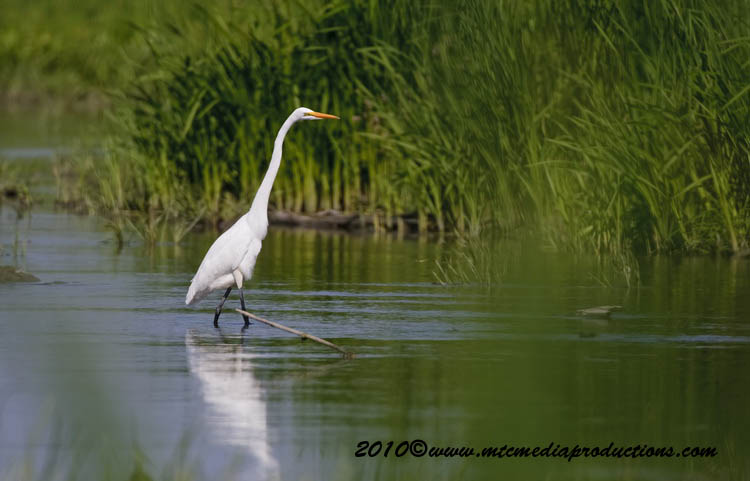 Great Egret Picture-127