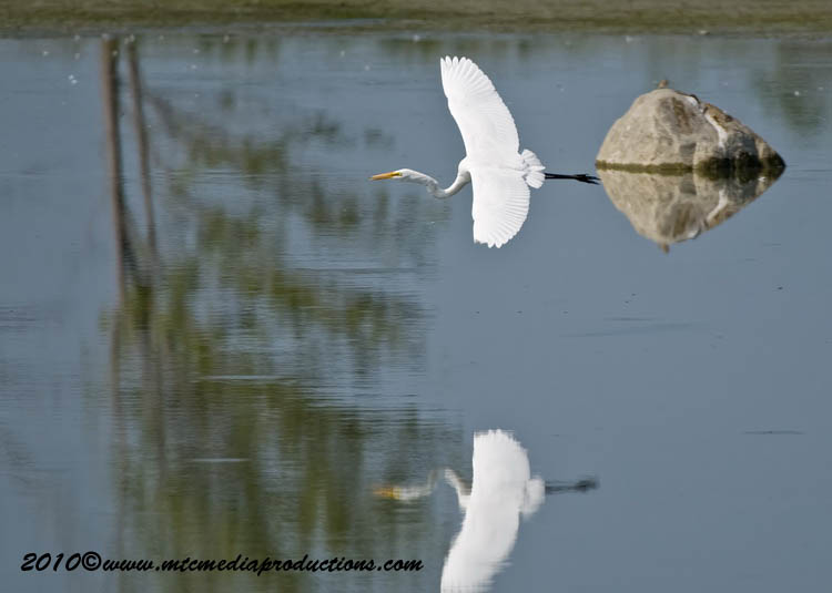Great Egret Picture-130