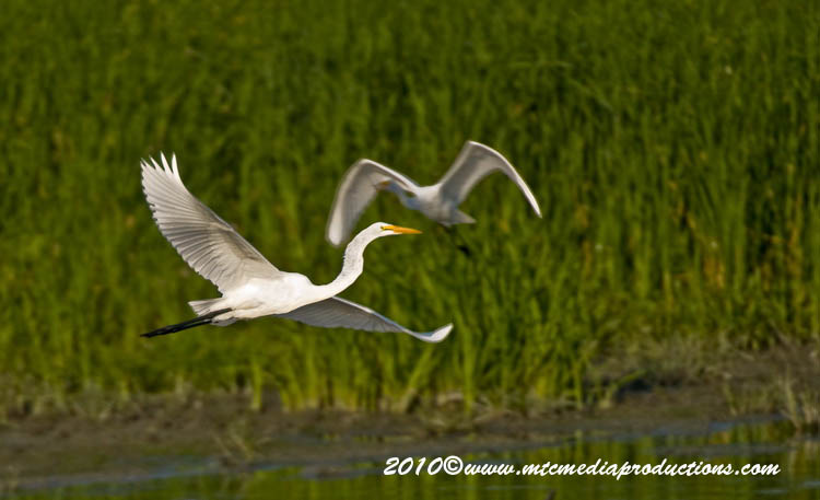 Great Egret Picture-131