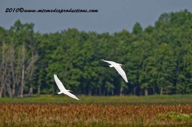 Great Egret Picture-132