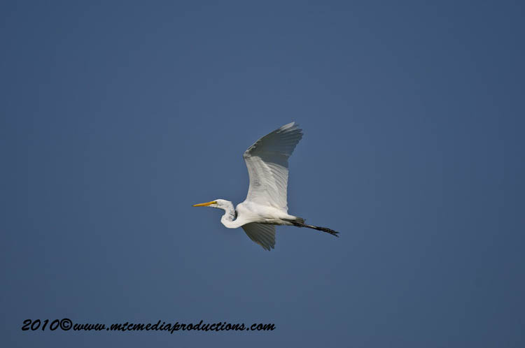 Great Egret Picture-133