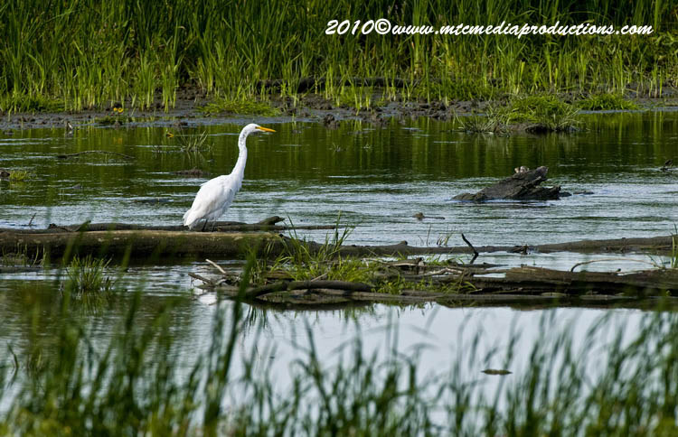 Great Egret Picture-135