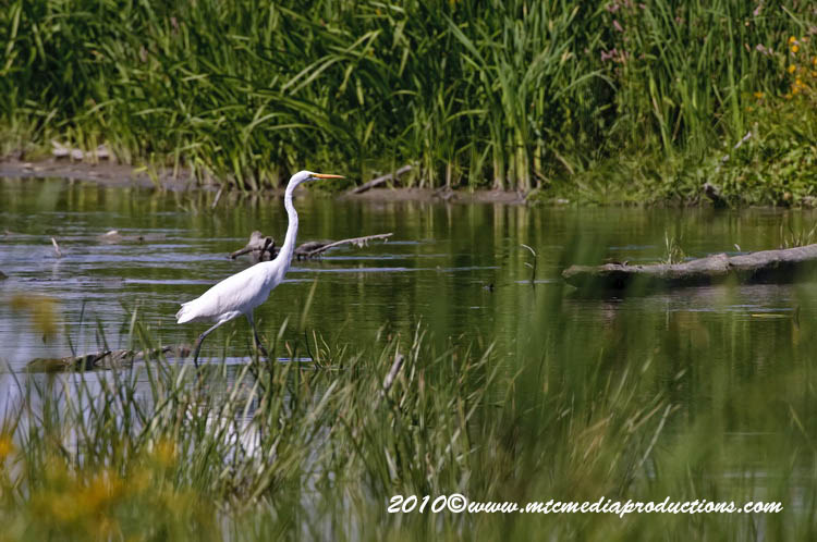 Great Egret Picture-136