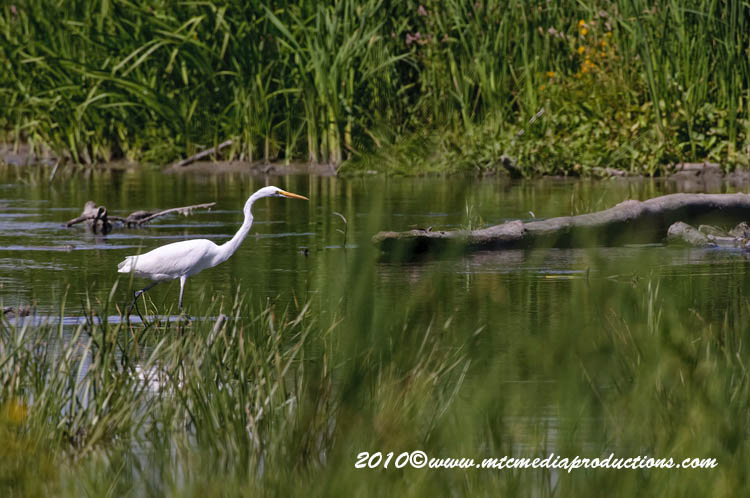 Great Egret Picture-137