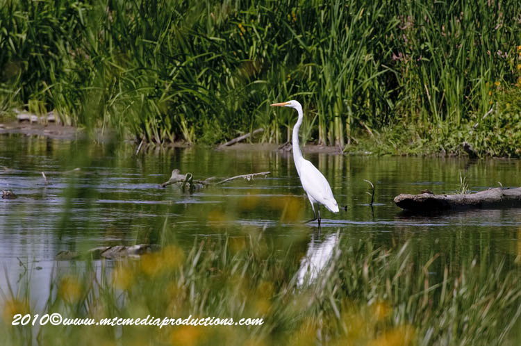 Great Egret Picture-138