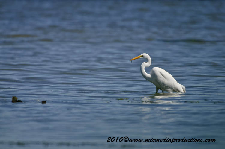 Great Egret Picture-139
