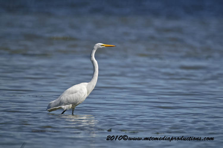 Great Egret Picture-140