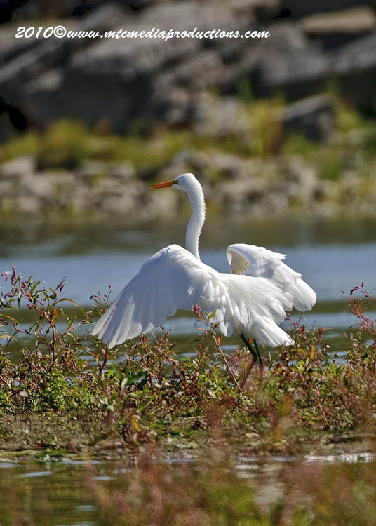 Great Egret Picture-141