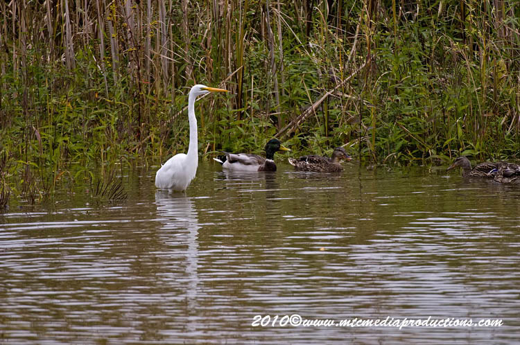 Great Egret Picture-142