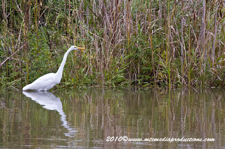 Great Egret Picture-143