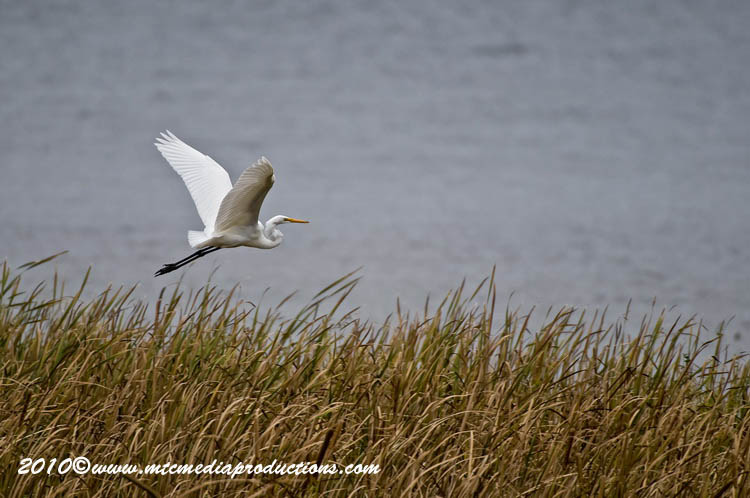 Great Egret Picture-144