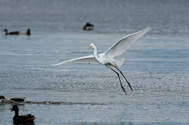 Great Egret Picture-145