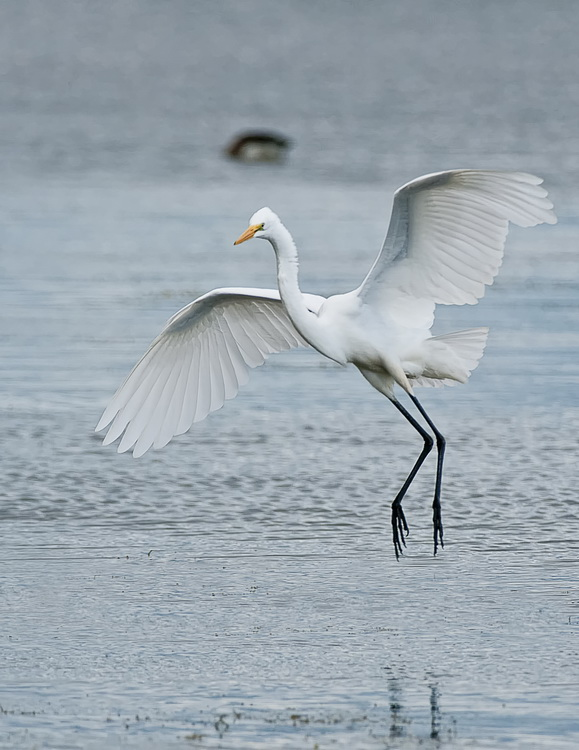 Great Egret Picture-146
