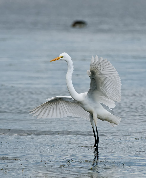 Great Egret Picture-147
