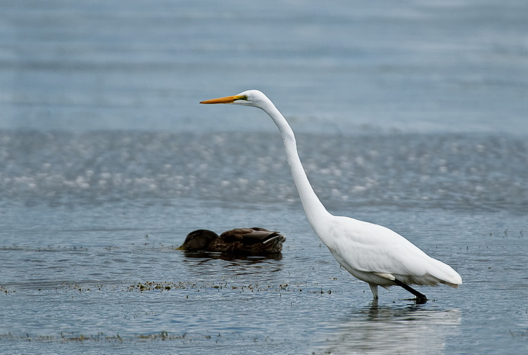 Great Egret Picture-148