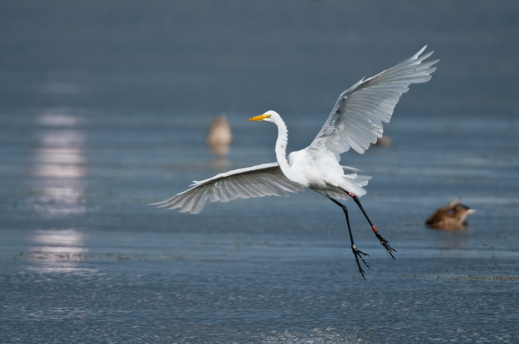 Great Egret Picture-149