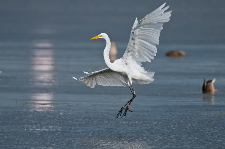 Great Egret Picture-150