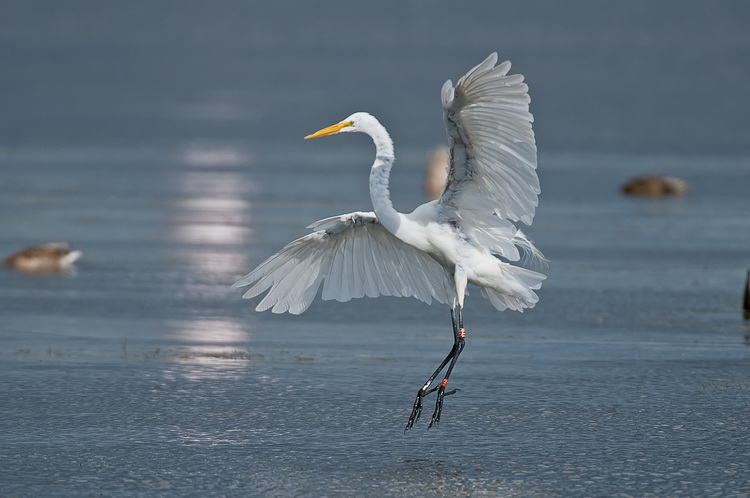 Great Egret Picture-151