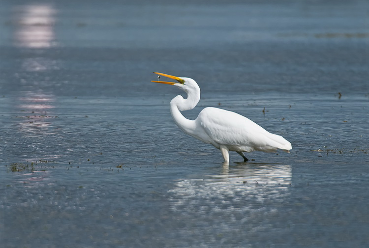 Great Egret Picture-152