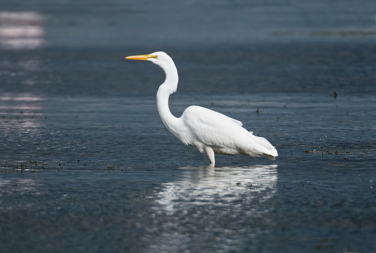 Great Egret Picture-153
