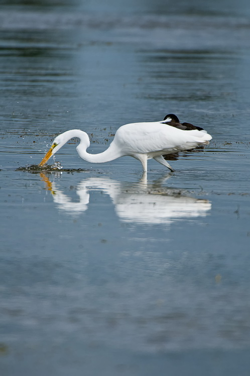 Great Egret Picture-154