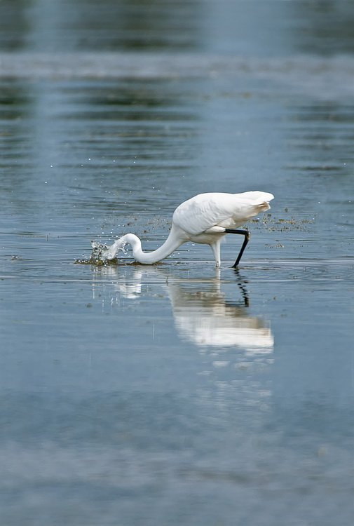 Great Egret Picture-155