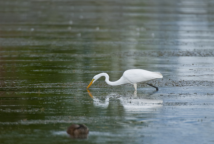 Great Egret Picture-157