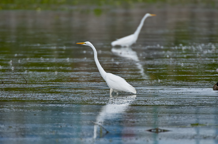 Great Egret Picture-158