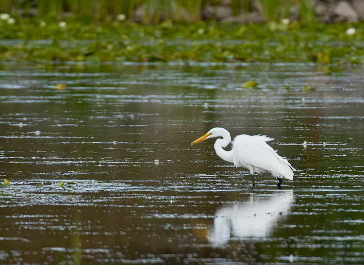 Great Egret Picture-159