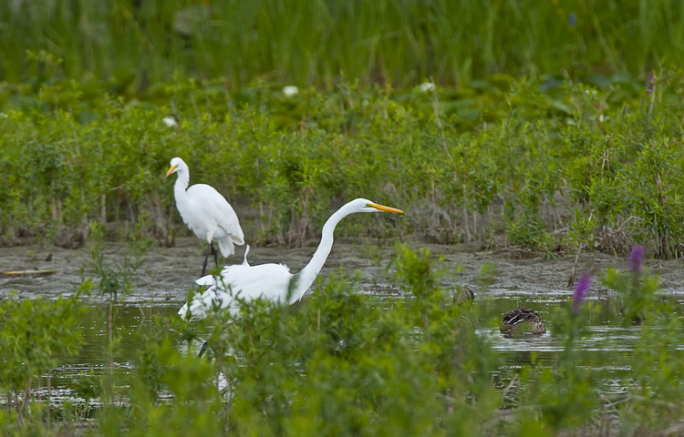 Great Egret Picture-160