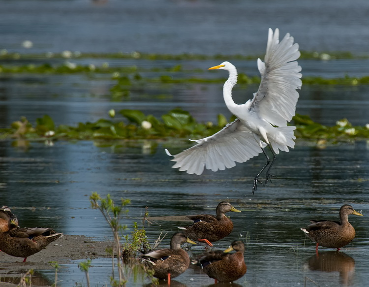 Great Egret Picture-161