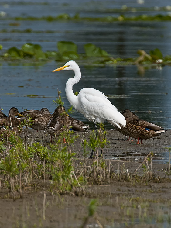 Great Egret Picture-163