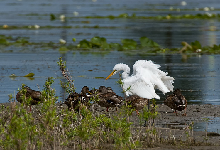 Great Egret Picture-164