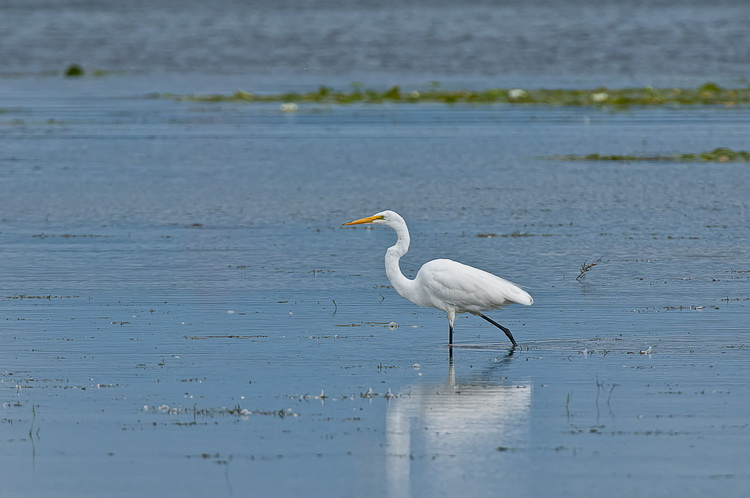 Great Egret Picture-165