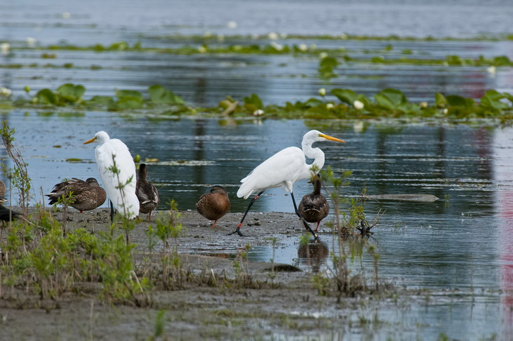 Great Egret Picture-166