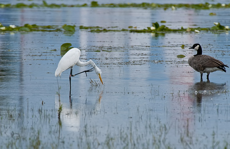 Great Egret Picture-167