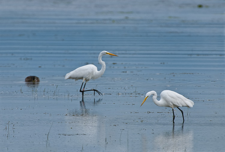 Great Egret Picture-168